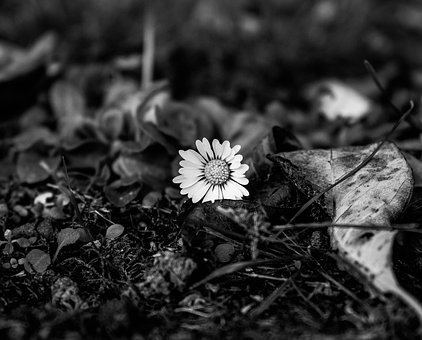 Daisy, Korbblüter, White, Geese Flower, Plant, Garden