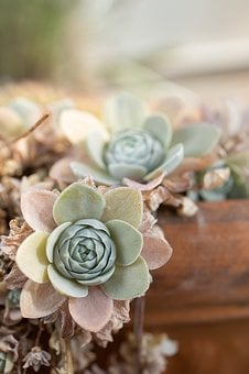 Succulents, Hen And Chick, Sacred Geometry, Succulent