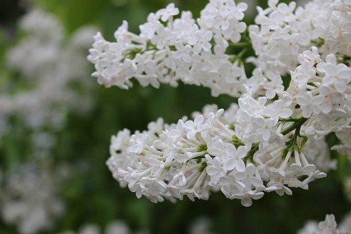 Lilac, White, Flowers, Violet, Flora, Plant, Bloom
