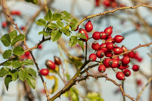 Wildflower, Rosehips, Brian, Roses, Fruits, Fruit, Red