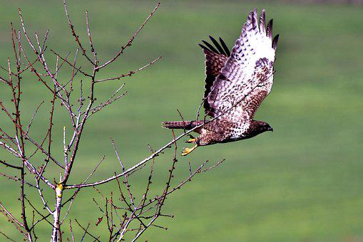 Common Buzzard, Bird Of Prey, Wings, Plumage, Flying