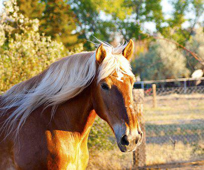 Horse, Draft Horse, Clydesdale, Equine, Stallion