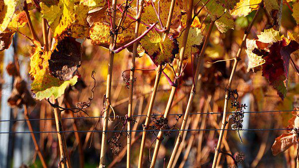 Grapevine, Vine, Leaves, Withered, Autumn, Vineyard