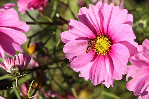 Cosmos, Flower, Flowers, Plants, Nature, Pink, Summer