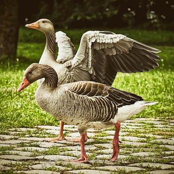Geese, Wild Geese, Waterfowl, Pair, Grey Goose Run