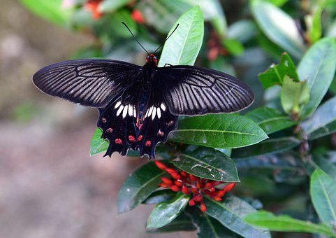 Butterfly, Black, Insect, Wings, Summer, Wing, Wildlife