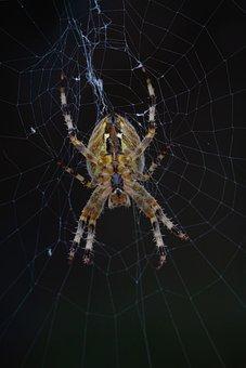 Araignée, Toile, Invertébré, Animaux, Phobie