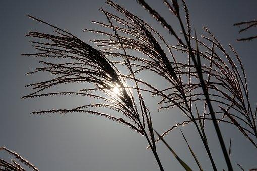 Reed, Grass, Sun, Heaven