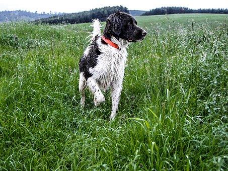 Hunting Dog, Hunting, Beagle, Münsterland Is, Dog