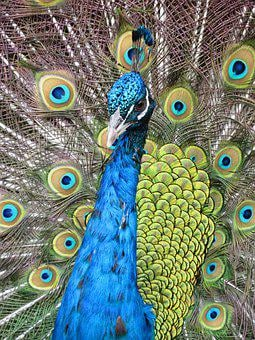Peacock, Bird, Colorful, Nature, Plumage, Animal, Color