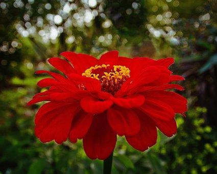 Flower, Red, Bloom, Garden, Love, Poppy, Nature