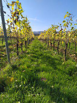 Vines, Autumn, Winegrowing, Vine, Mosel, Trellis, Wine