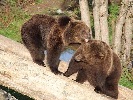 Bear, Wildlife, Brown, Animal, Zoo