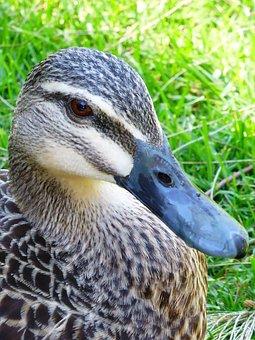 Duck, Mallard, Female, Beak, Animal, Bill, Waterbird