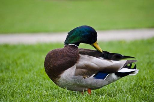 Mallard, Duck, Bird, Fowl, Grass, Green, Feathers