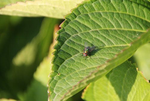 Bluebottle, Fly, Green, Insect