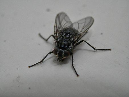 Bluebottle, Fly, Insect, Nature, Bug