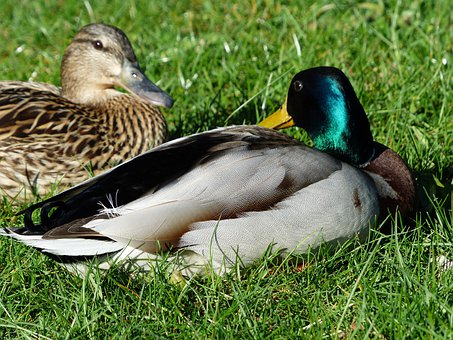 Pair Of Ducks, Couple, Love, Ducks, Mallard Pair