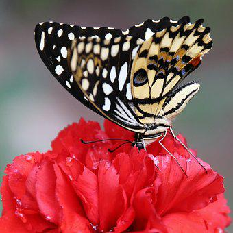 Butterfly, Carnation, Wing, Insect, Fly, Colorful