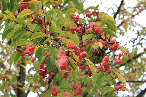 Magnolia, Fruits, Red, Ripe, Clusters, Seeds, Trees