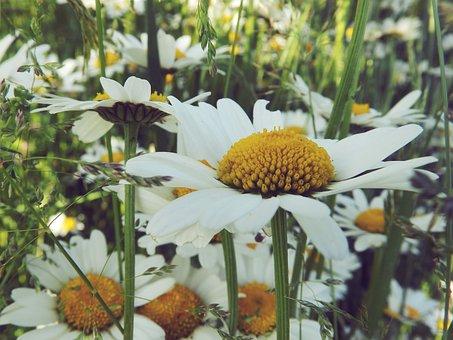 Daisy, Nature, Grass, Flower, Summer, White, Spring
