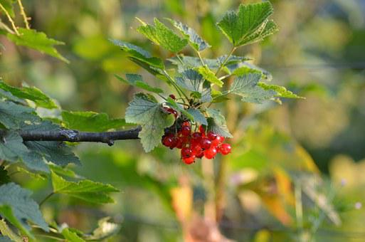 Currant, Garden, Green, Fruit, Sunny, Red, Plant