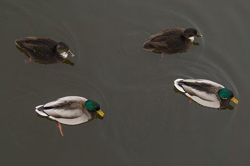 Ducks, Pond, Male, Female, Pattern, Symmetry, Nature