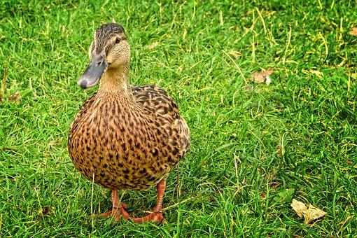 Duck, Mallard, Anas Platyrhynchos, Female, Water Bird