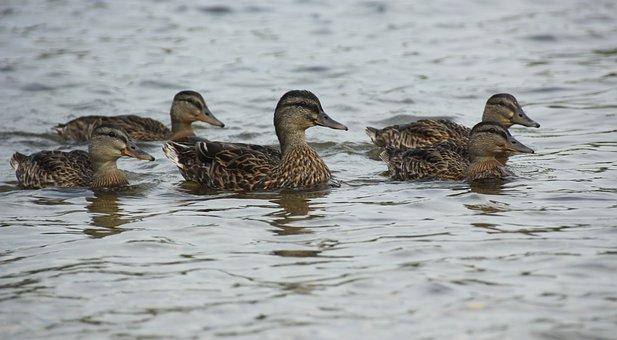 Ducks, Waterfowl, Mallards, Bird, Brown, Fowl, Lake