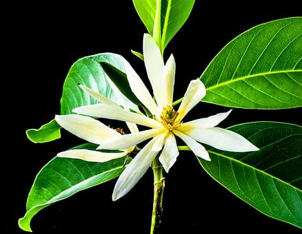 Michelia Champaca, Blossom, Blossom, Bloom, White