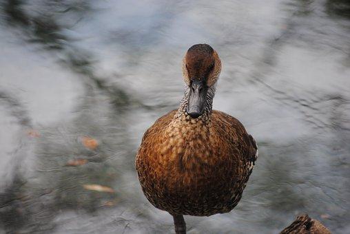 Duck, Swimming, Water, Nature, Lake, Wildlife, Wild