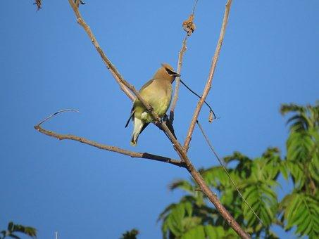 Cedar Waxwing, Niagara Falls, Bird, Animal, Beak
