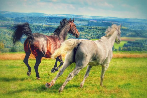 Horses, Gallop, Meadow, Mold, Pasture, Grass, Mane