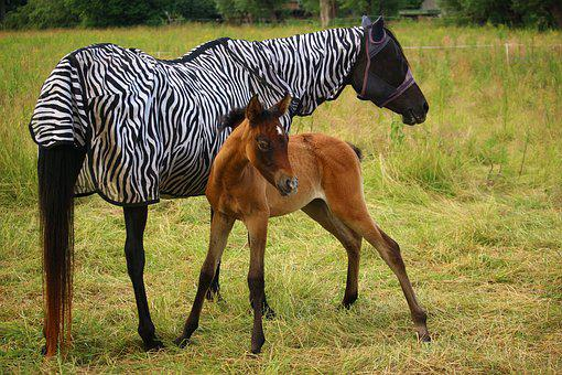 Horse, Foal, Thoroughbred Arabian, Brown Mold, Rap