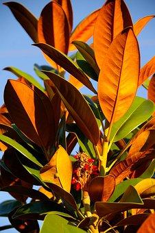 Magnolia, Tree, Leaves, Green, Orange, Russet