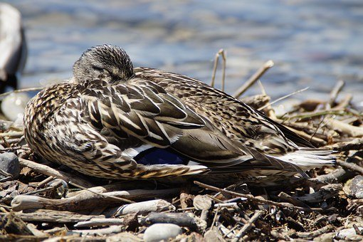 Female, Sleep, Duck, Mallard, Duck Bird, Water Bird