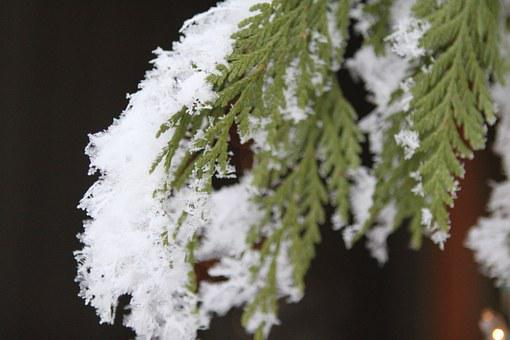 Snowflake, Pine, Tree, Tree Branches, Branch, Frozen