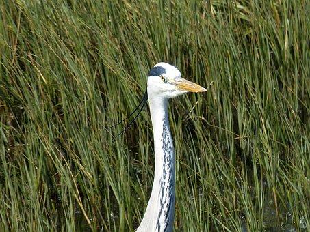 South Africa, Garden Route, Nature, Coast, Heron, Bird