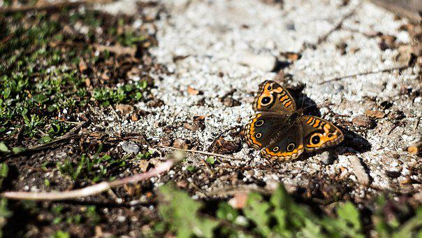 Butterfly, Nature, Bugs, Natural, Insect, Summer