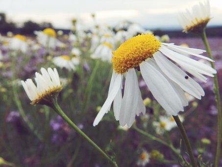 Daisy, Summer, Macro, Nature, Flower, Plant, Yellow