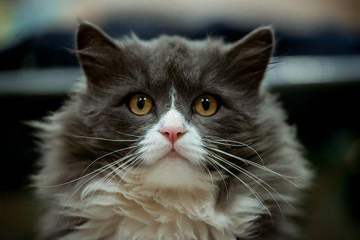 Gray Cat With White Muzzle, Beautiful Cat, Cat