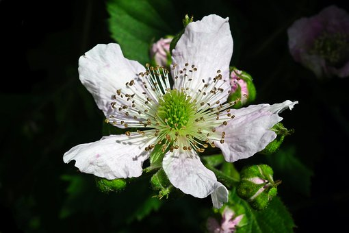 Blackberry, Flower, Bezkolcowa, Spring, Blossoming