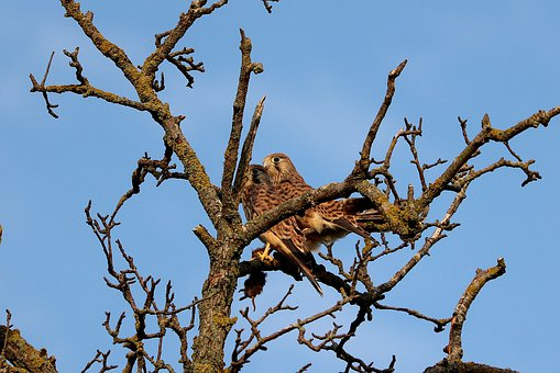 Hawks, Young Falcons, Bird Of Prey, Raptor, Plumage