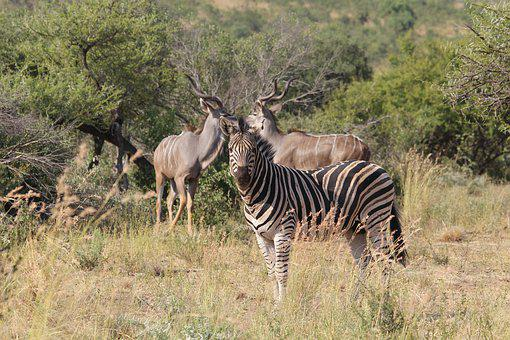 Zebra, Kudu, Rams, Horns, Burchell, Camouflage, Game