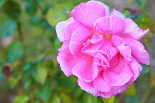 Rose, Nature, Flower, Pink, Love, Romantic, Plant
