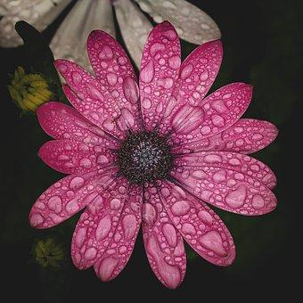 Flower, Pink, Rain, Nature, Spring, Blossom, Summer