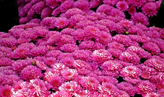 Chrysanthemum, Flowers, Light, Autumn, Plant, Nature