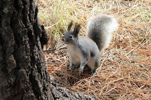 Abert's, Squirrel, Alpine, Arizona, Nature, Fur, Mammal