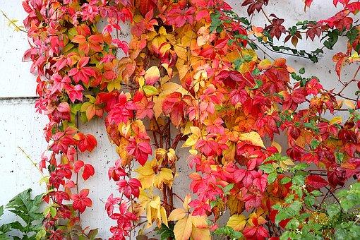 Vine-virgin, Climbing Plants, Fall Colors