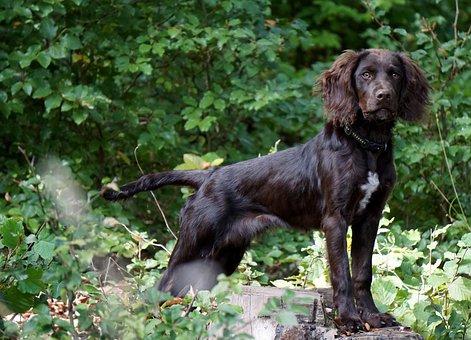 Quail Dog, Hunting Dog, Stoeberhund, Brown, Animal